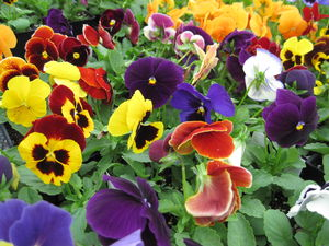 Bedding Pansies At Milmont Garden Center
