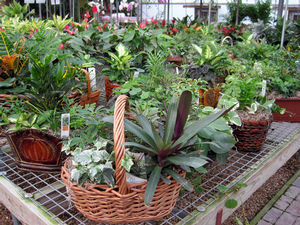 Large variety of flowering and foliage dish gardens