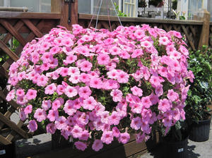 Pansy Petunia Baskets