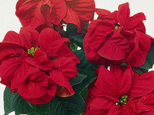 Winter Rose Red Poinsettia