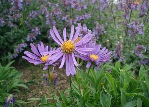 Our Asters are blooming