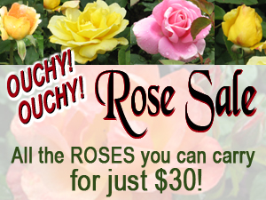 All the roses you can carry for $30 at Milmont