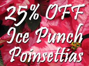 Ice Punch Poinsettias now 25% off