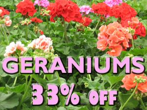 All Geraniums are now 33% OFF! While supplies last.