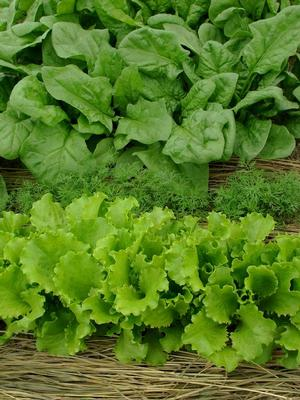 Spinach & Leaf Lettuce