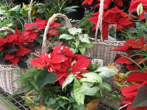 We have a variety of poinsettia gift baskets & dish gardens.