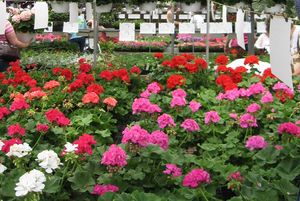 Geraniums are another lovely flower in the perennial category.