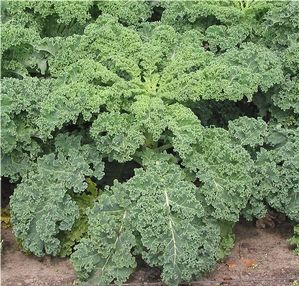 Kale is a form of cabbage, either green or purple in color, that does not form a head. Kale is a very hardy plant that tolerates most soils and rarely suffers from pests and diseases more common to other members of the cabbage family.