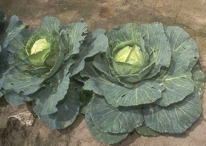 Cabbage is a good source of riboflavin and is used in a variety of dishes, either cooked or raw, for its naturally spicy flavor.