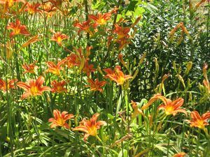 Daylillies create a gorgeous returning landscape each year.