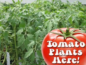 Milmont grows a wide variety of healthy, delicious tomatoes.