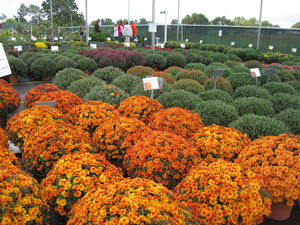 Mums in full bloom. We carry a selection of gorgeous colors and varieties.