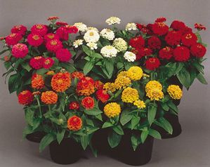 Proven Winners Mixed Zinnias