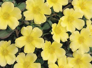 Proven Winners Yellow Portulaca